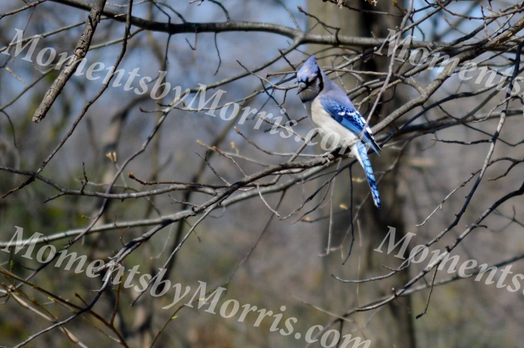 card photo blue jay w